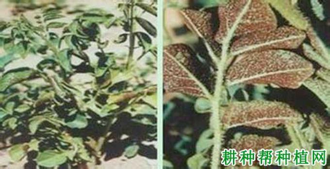 甘草的病虫害防治_甘草的病虫害防治图_甘草的病虫害防治技术