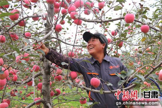 甘肃西峰苹果挂满塬 映红农户增收路